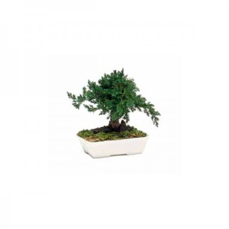Дерево Бонсай Можевельник зеленый 15 см