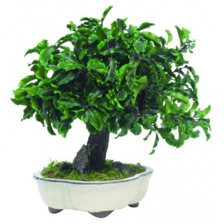 Дерево Бонсай Питоспорум зеленый 25 см