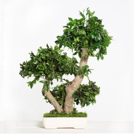 Дерево Бонсай Питоспорум зеленый 50 см