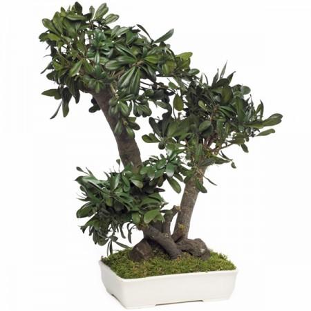 Дерево Бонсай Питоспорум Тобира зеленый 50 см