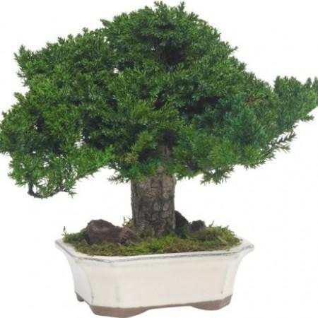 Дерево Бонсай Можевельник зеленый 25 см
