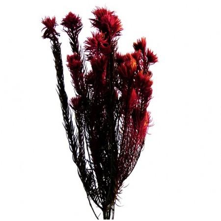 Филисинс красный