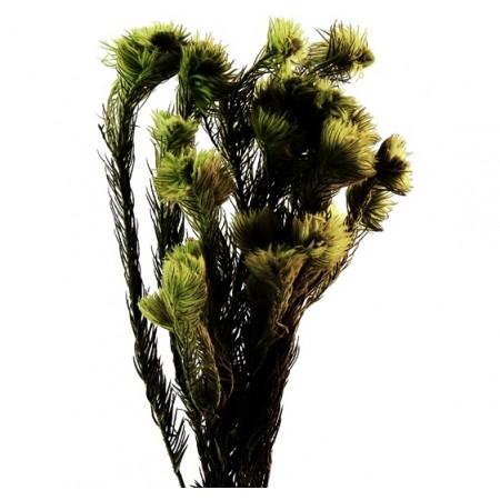 Филисинс зеленый-серый