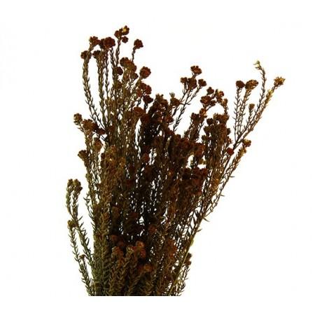 Коттон Филика коричневый