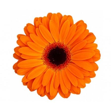Гербера подсолнух оранжевый