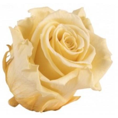 Роза медеа навал шампань 0020