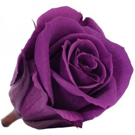 Роза стандарт навал фиолетовый 0710