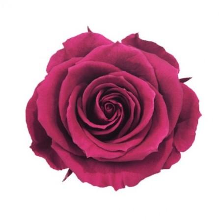 Роза стандарт навал кранбери 0240
