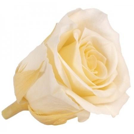 Роза стандарт навал шампань 0020