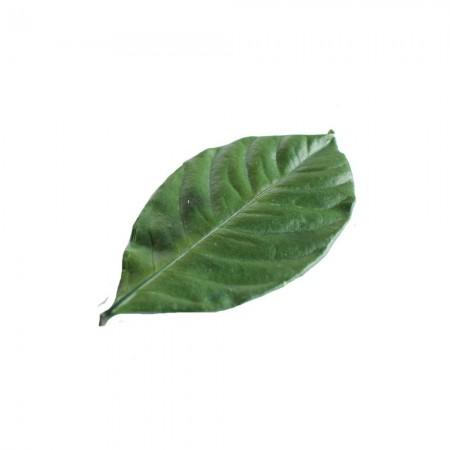 Гардения листья зеленый