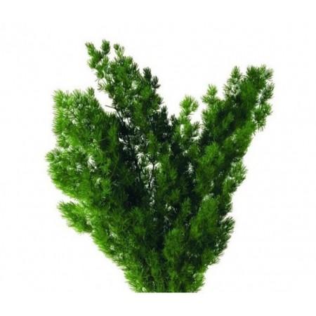 Минг ферн зеленый